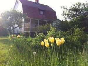 Grönskan på ön och även i vår trädgård är enorm. Hann få se de sista tulpanerna. De här hade växt sig extra långa.