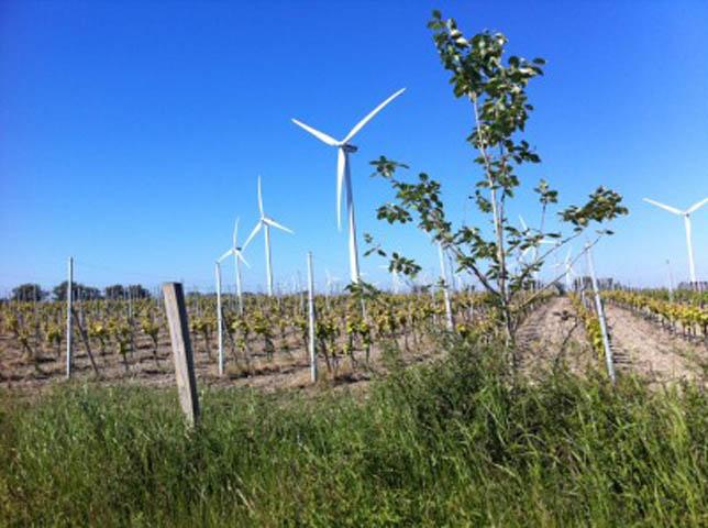 Här odlas det hablingbo vin. Det hade visst inte gått så bra de sista odlingarna men det finns att köpa på systembolaget i Hemse. Fascinerande att se så här mitt ute i vindkraftverks parken.